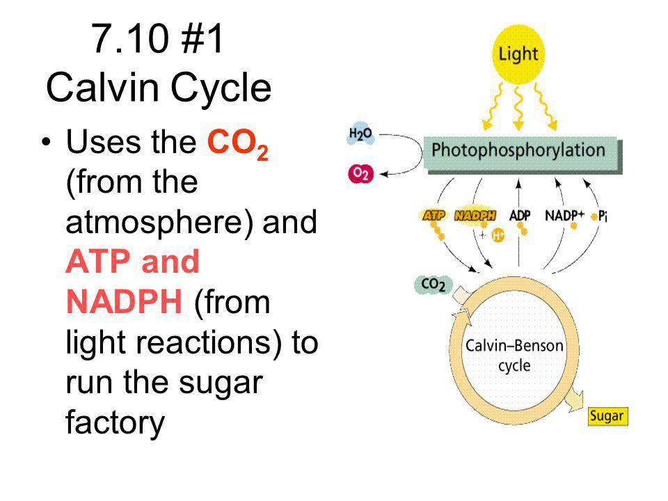 7.10 #1 Calvin Cycle Uses the CO2 (from the atmosphere) and ATP and NADPH (from light reactions) to run the sugar factory.