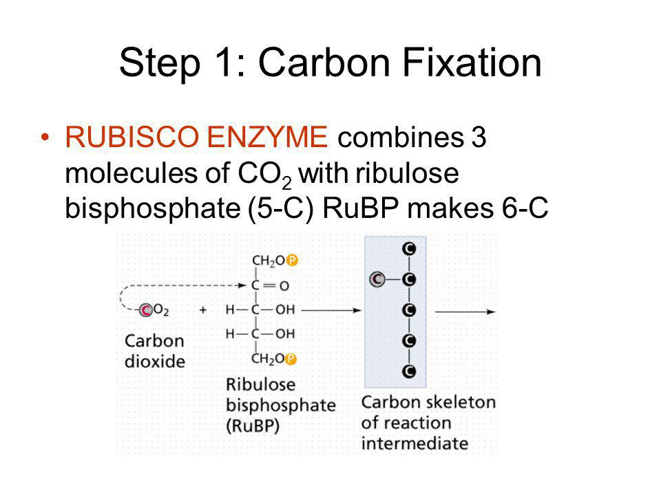 Step 1: Carbon Fixation RUBISCO ENZYME combines 3 molecules of CO2 with ribulose bisphosphate (5-C) RuBP makes 6-C.