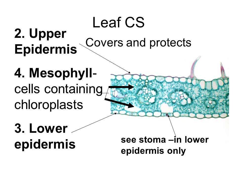 Leaf CS 2. Upper Epidermis 4. Mesophyll-cells containing chloroplasts