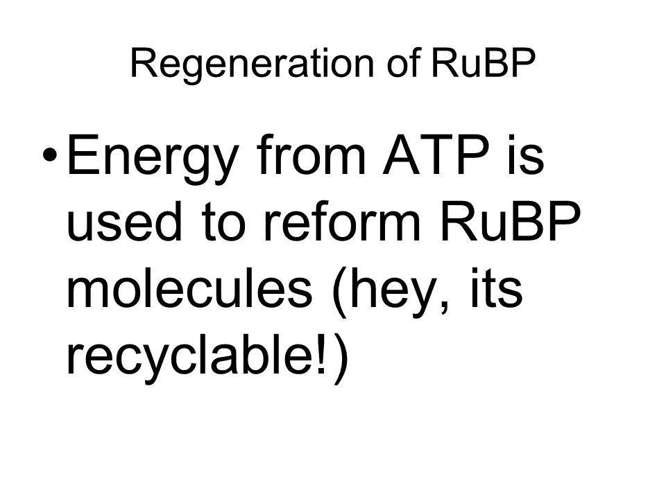 Regeneration of RuBP Energy from ATP is used to reform RuBP molecules (hey, its recyclable!)