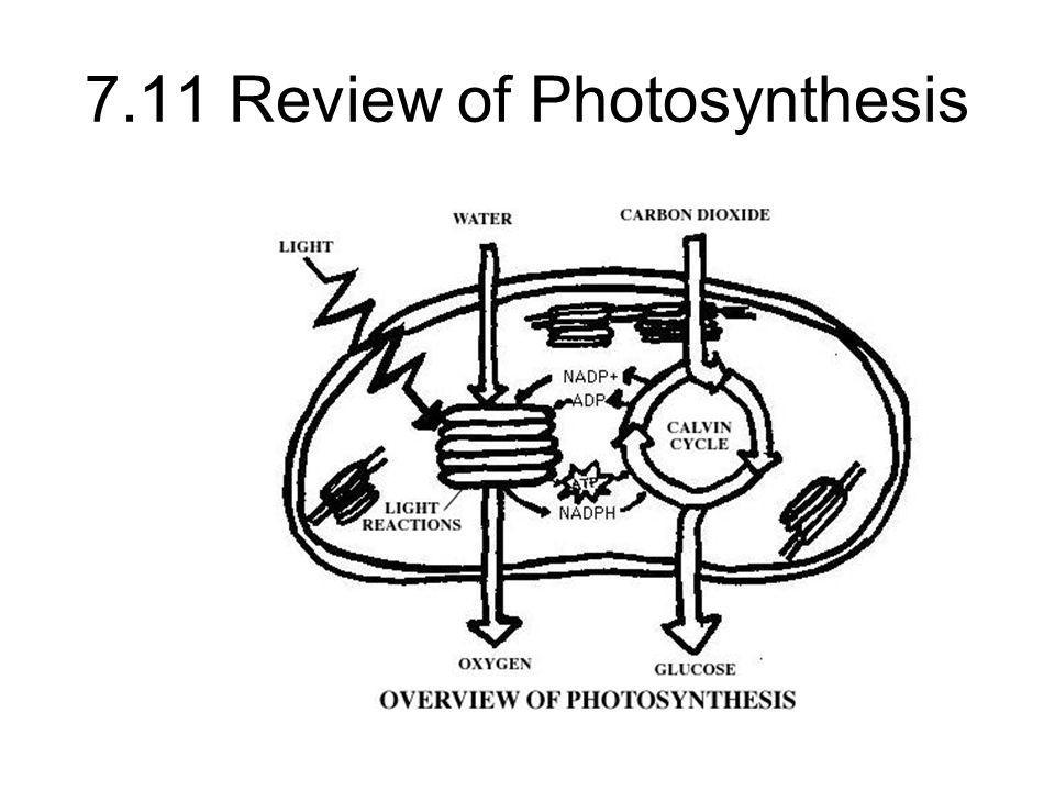 7.11 Review of Photosynthesis