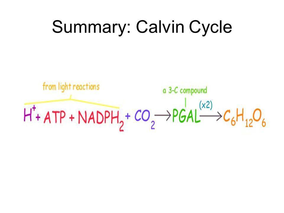 Summary: Calvin Cycle