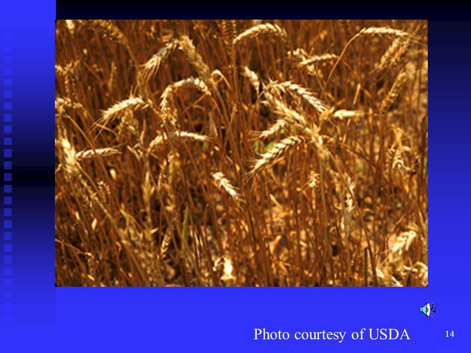 Wheat is grown primarily in the great plains region of the United states including north Texas, Oklahoma, Kansas, South Dakota and North Dakota.