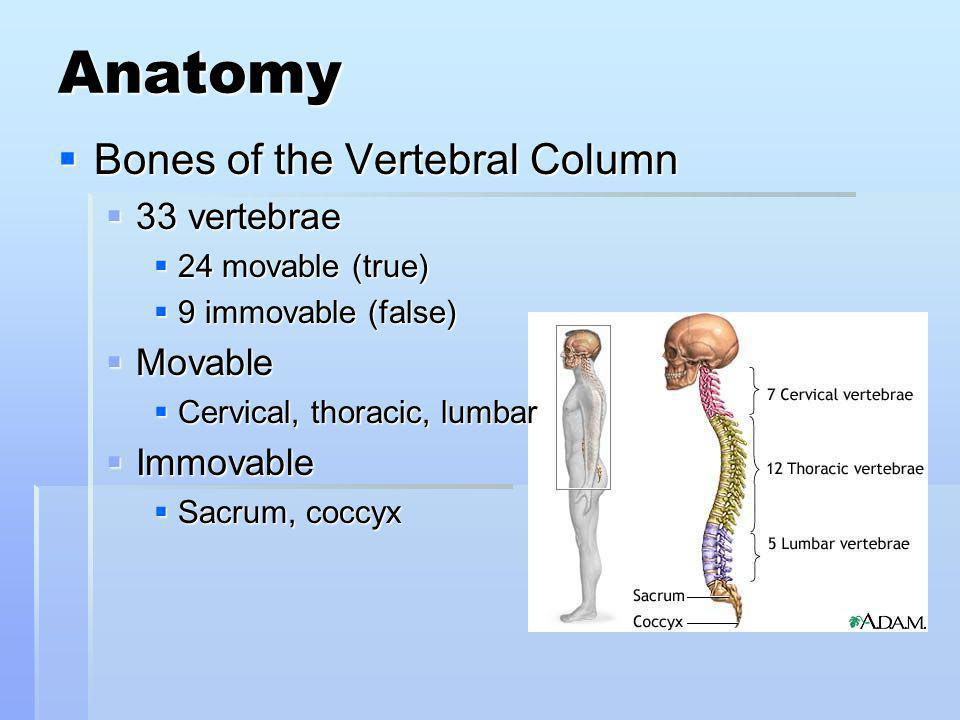 Anatomy Bones of the Vertebral Column 33 vertebrae Movable Immovable