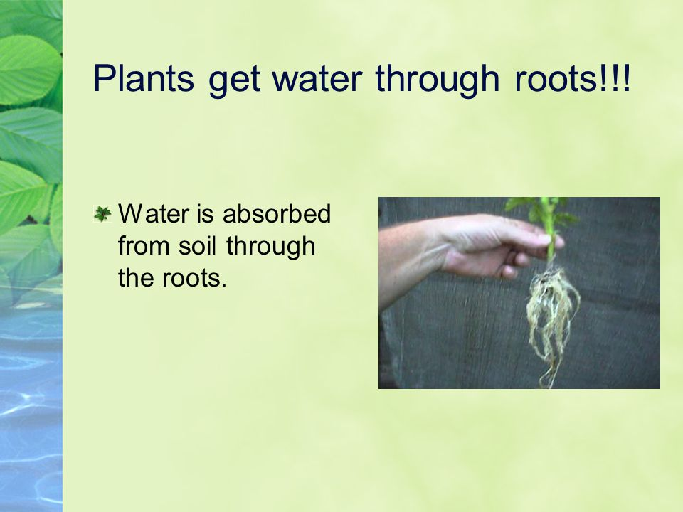 Plants get water through roots!!!