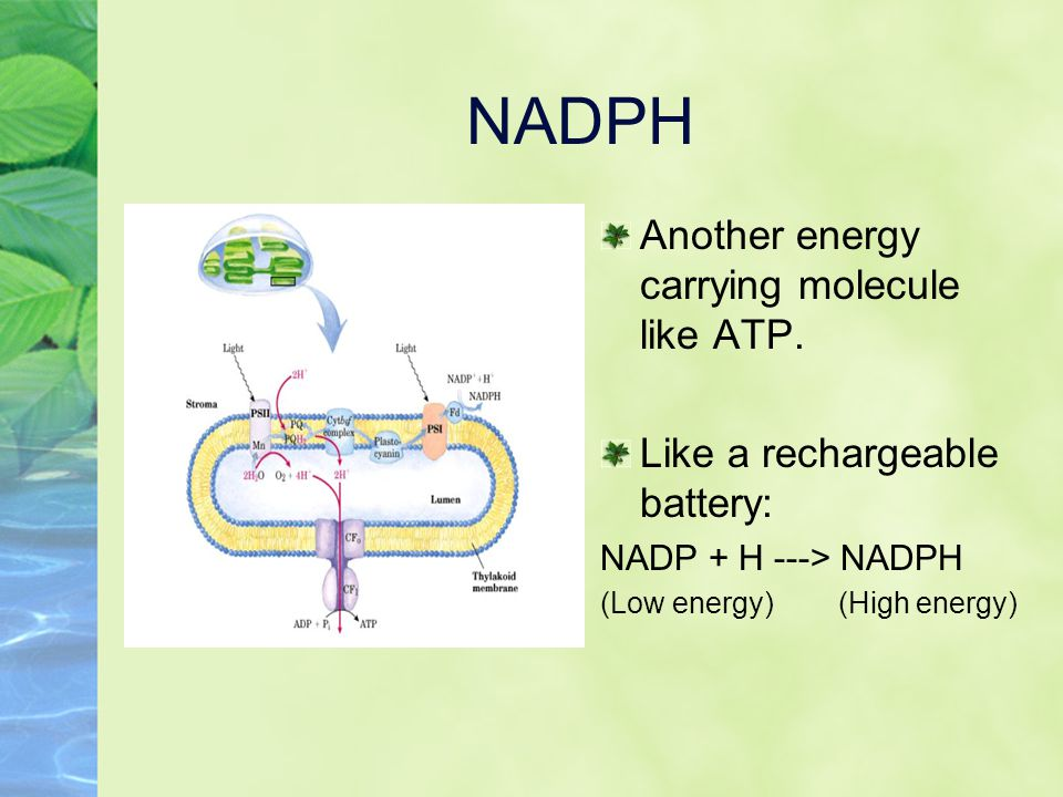 NADPH Another energy carrying molecule like ATP.
