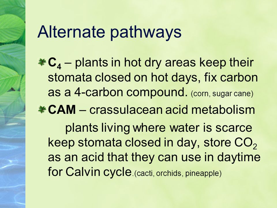 Alternate pathways C4 – plants in hot dry areas keep their stomata closed on hot days, fix carbon as a 4-carbon compound. (corn, sugar cane)