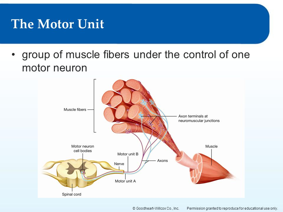The Motor Unit group of muscle fibers under the control of one motor neuron