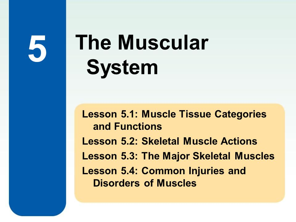 The Muscular System 5.