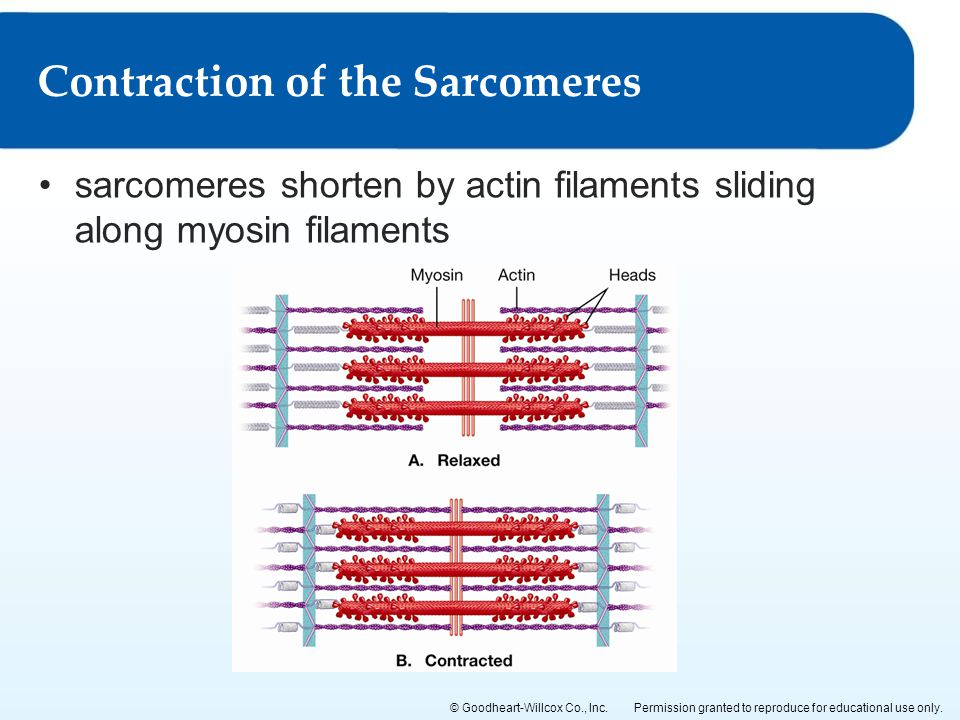 Contraction of the Sarcomeres