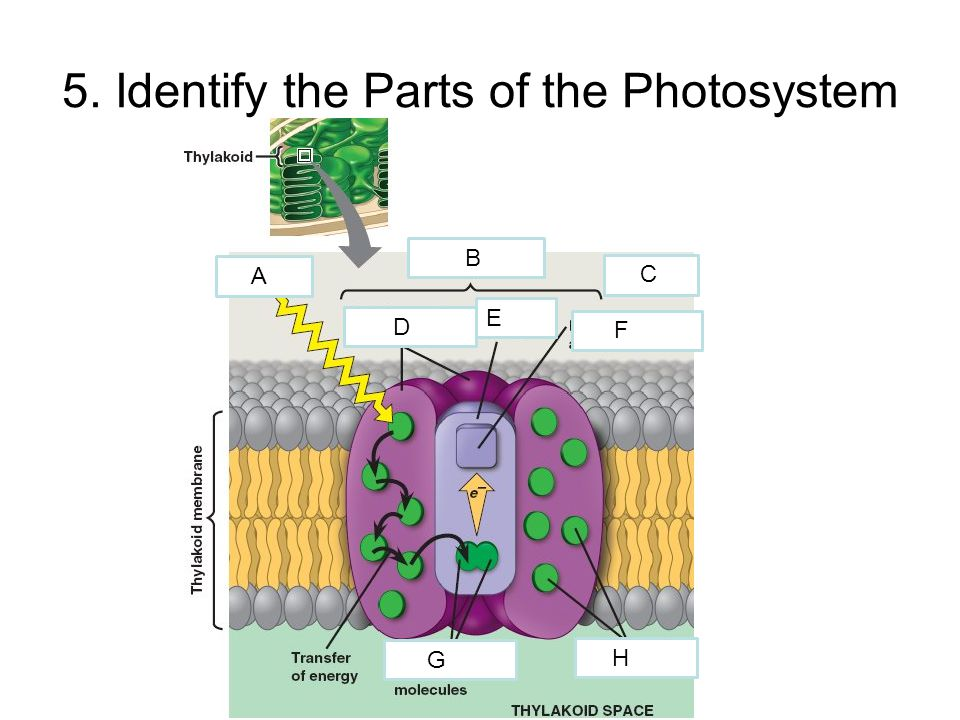 5. Identify the Parts of the Photosystem