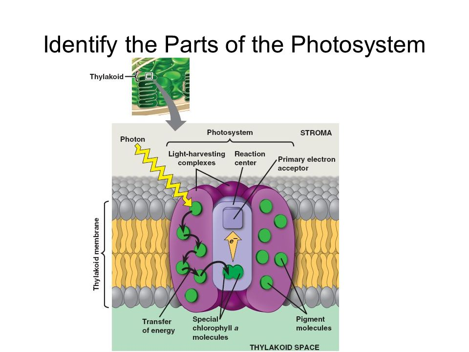 Identify the Parts of the Photosystem