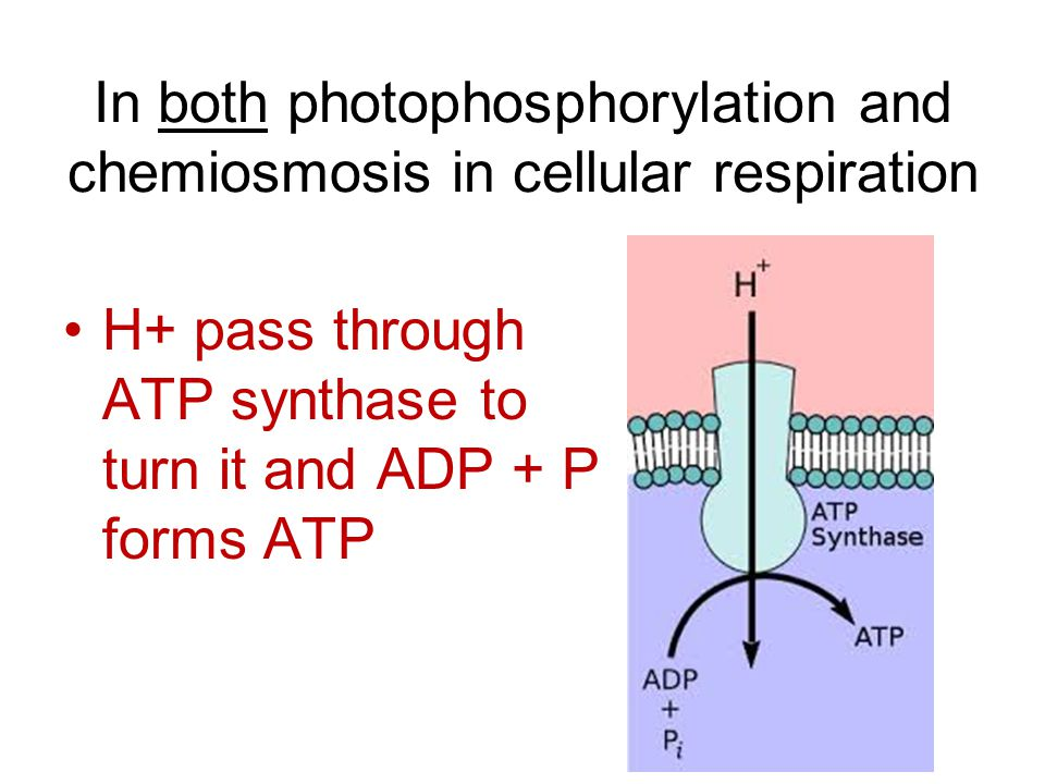 In both photophosphorylation and chemiosmosis in cellular respiration