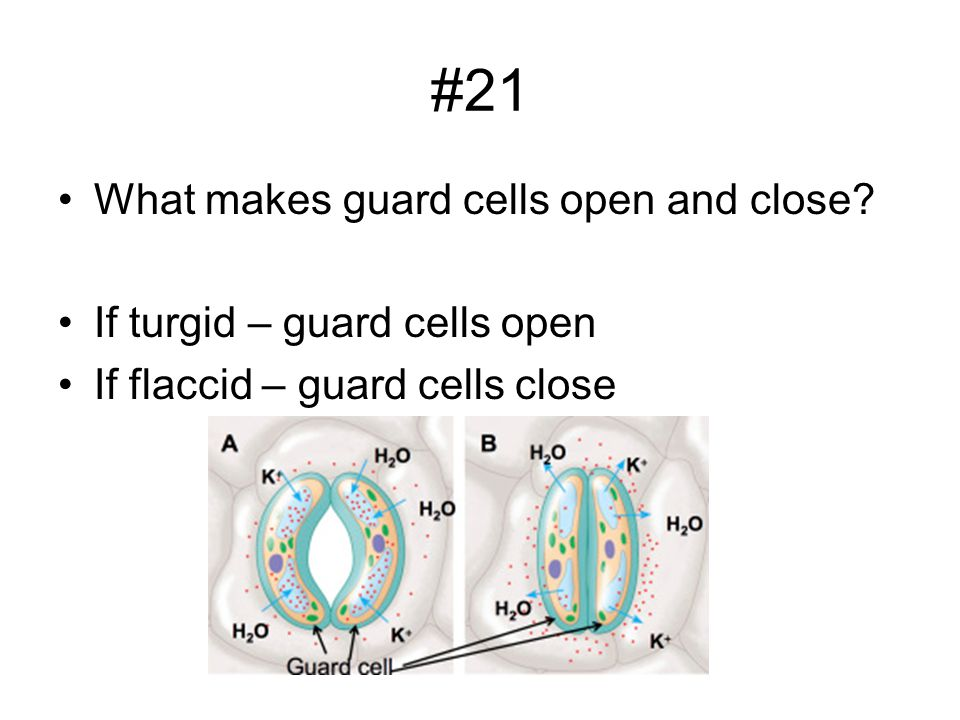 #21 What makes guard cells open and close