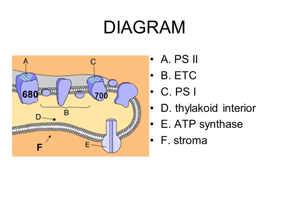 DIAGRAM A. PS II B. ETC C. PS I D. thylakoid interior E. ATP synthase
