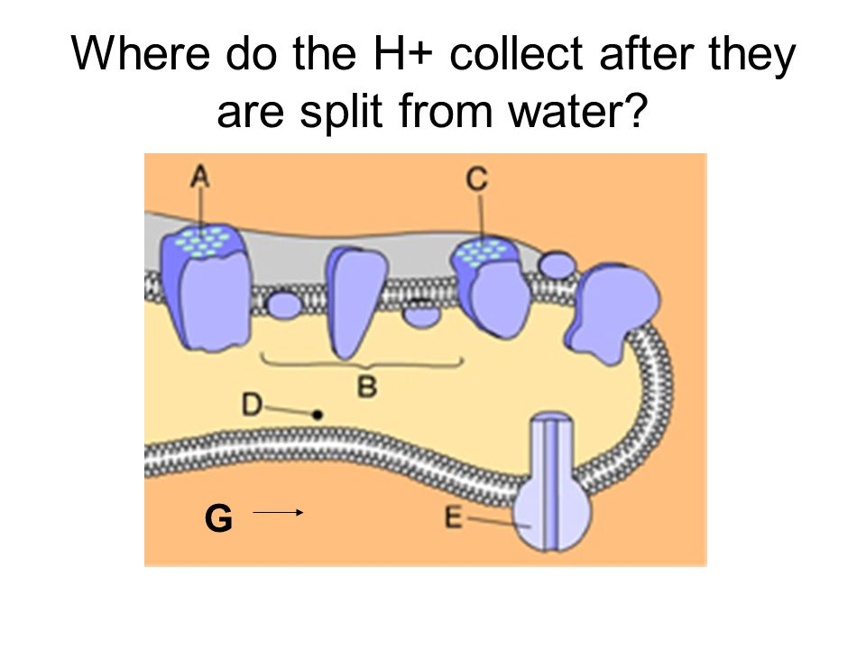 Where do the H+ collect after they are split from water