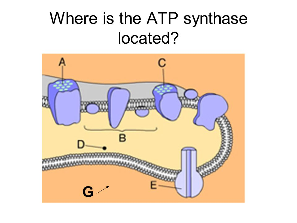 Where is the ATP synthase located