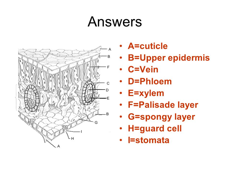 Answers A=cuticle B=Upper epidermis C=Vein D=Phloem E=xylem
