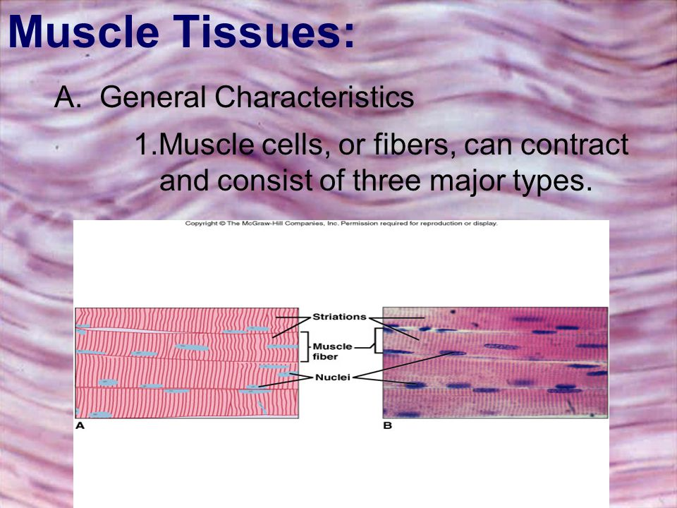Muscle Tissues: A. General Characteristics.
