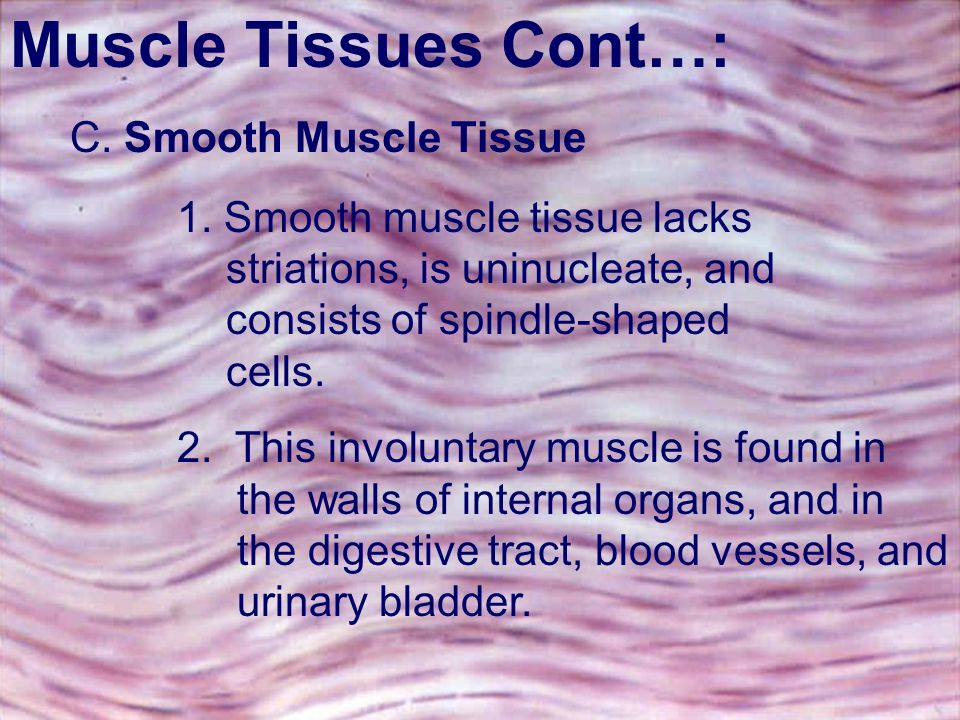 Muscle Tissues Cont…: C. Smooth Muscle Tissue.