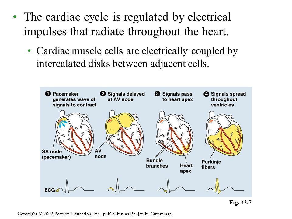 The cardiac cycle is regulated by electrical impulses that radiate throughout the heart.