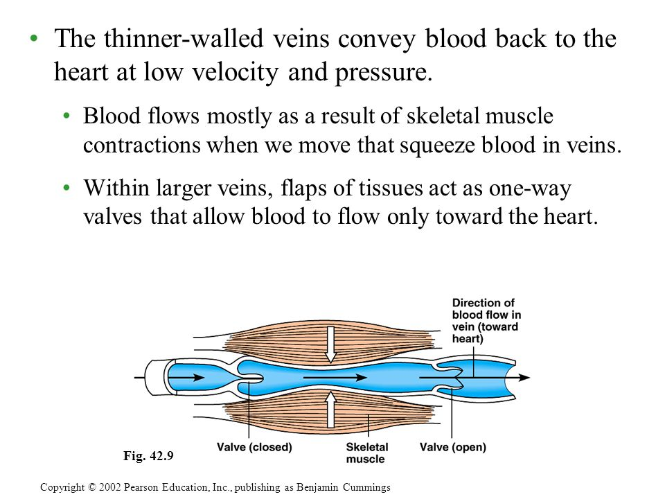 The thinner-walled veins convey blood back to the heart at low velocity and pressure.