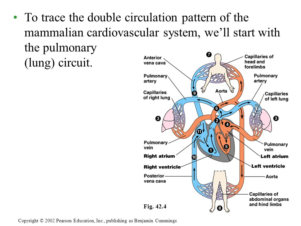 To trace the double circulation pattern of the mammalian cardiovascular system, we'll start with the pulmonary (lung) circuit.