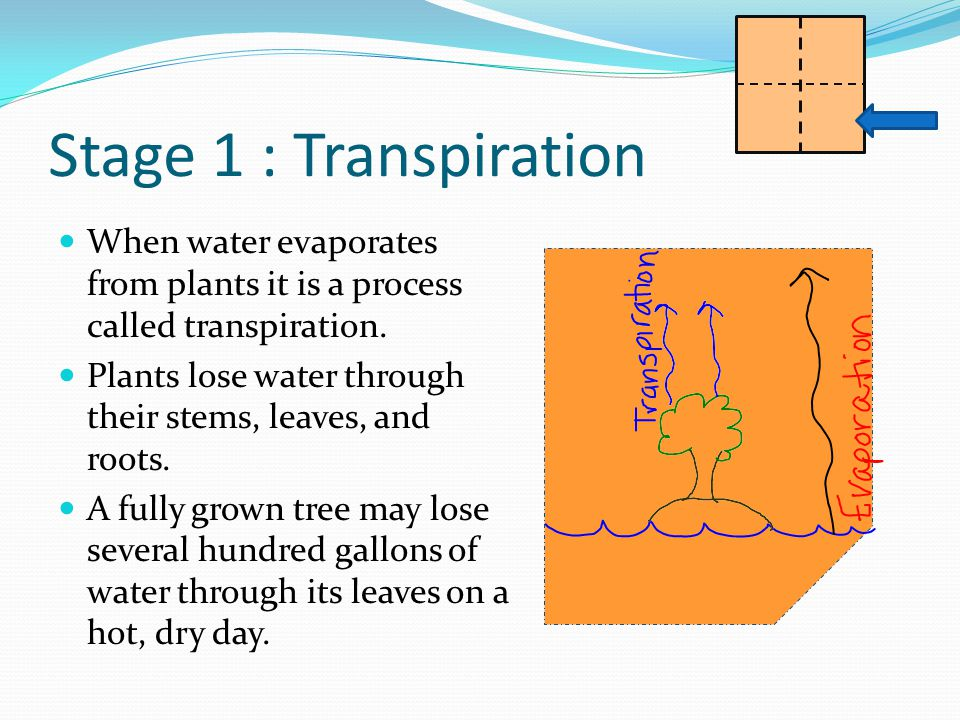 Stage 1 : Transpiration When water evaporates from plants it is a process called transpiration.