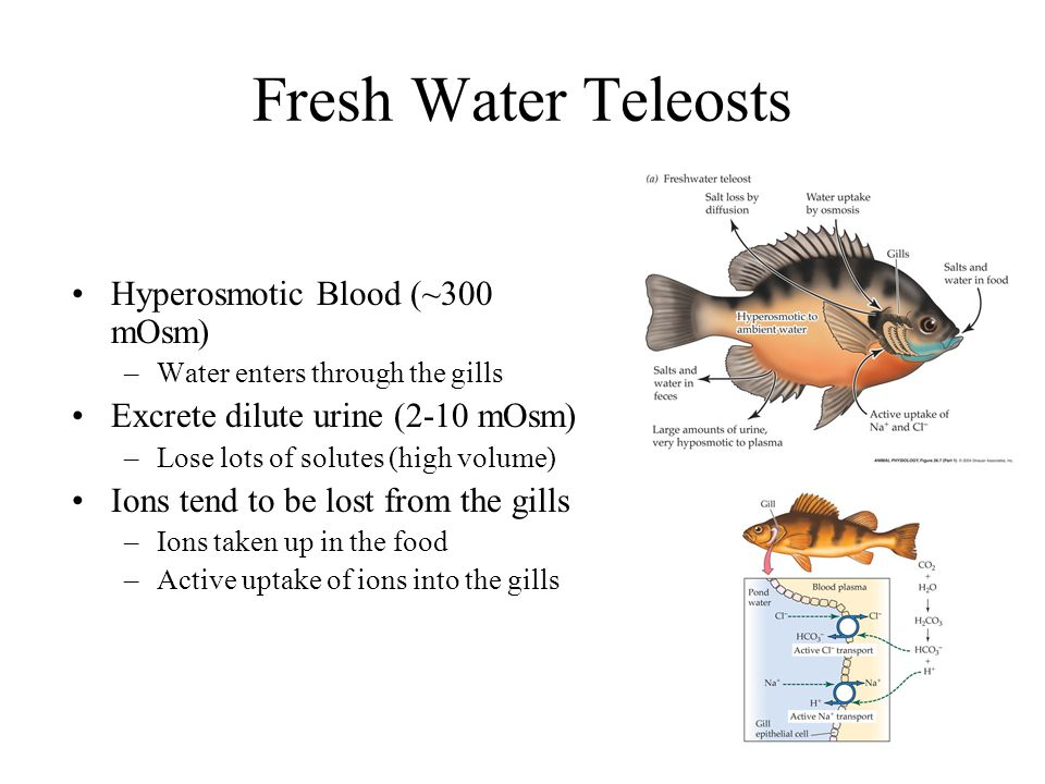 Fresh Water Teleosts Hyperosmotic Blood (~300 mOsm)