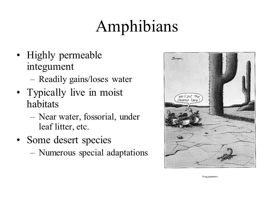 Amphibians Highly permeable integument