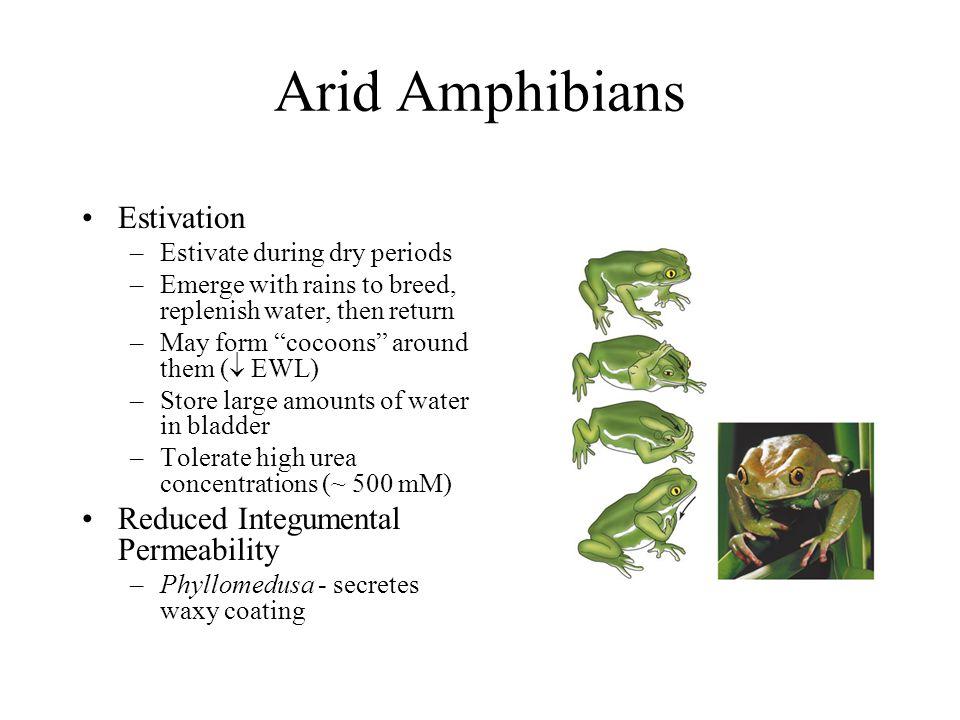Arid Amphibians Estivation Reduced Integumental Permeability
