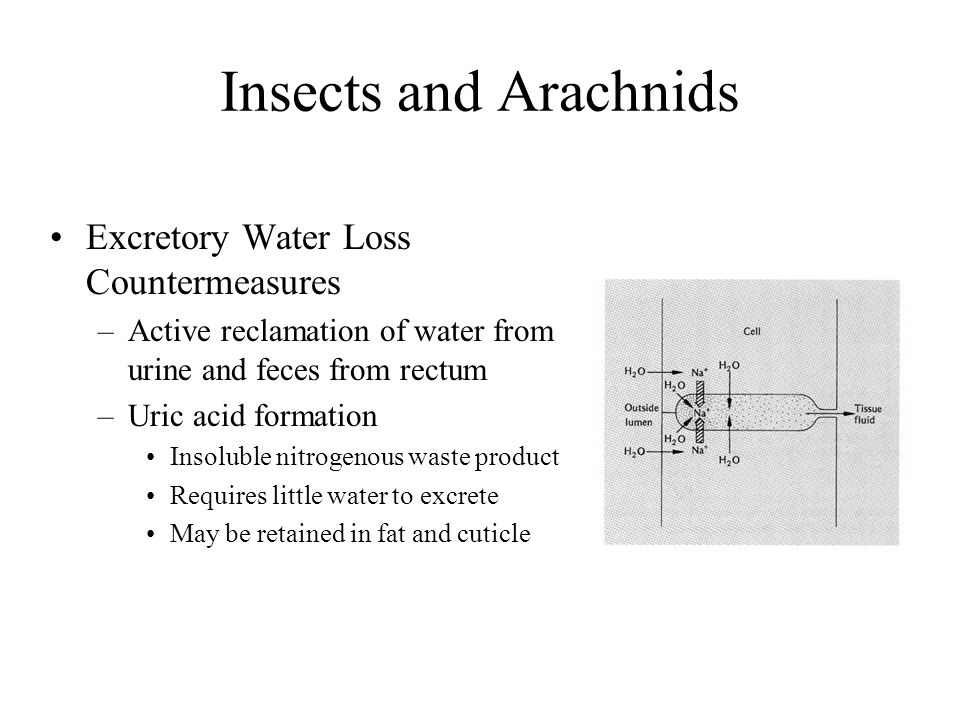 Insects and Arachnids Excretory Water Loss Countermeasures