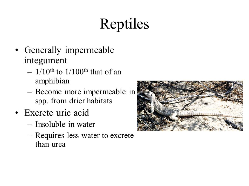 Reptiles Generally impermeable integument Excrete uric acid