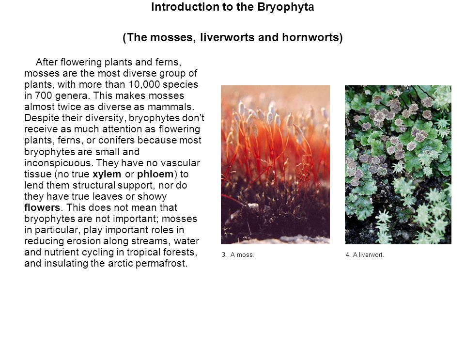 Introduction to the Bryophyta (The mosses, liverworts and hornworts)