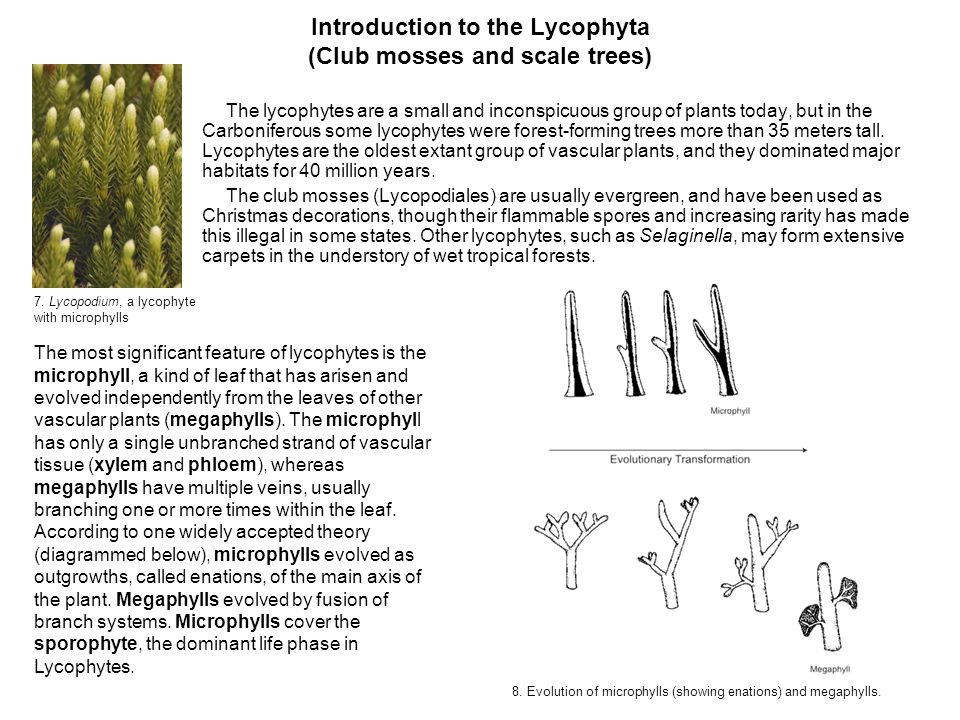 Introduction to the Lycophyta (Club mosses and scale trees)