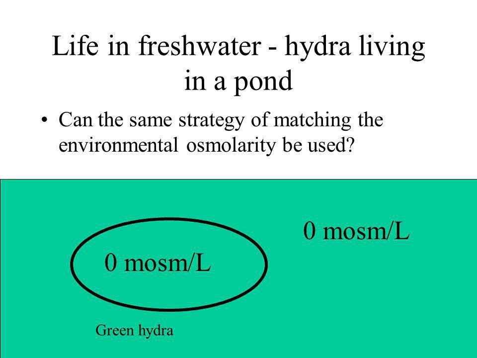 Life in freshwater - hydra living in a pond