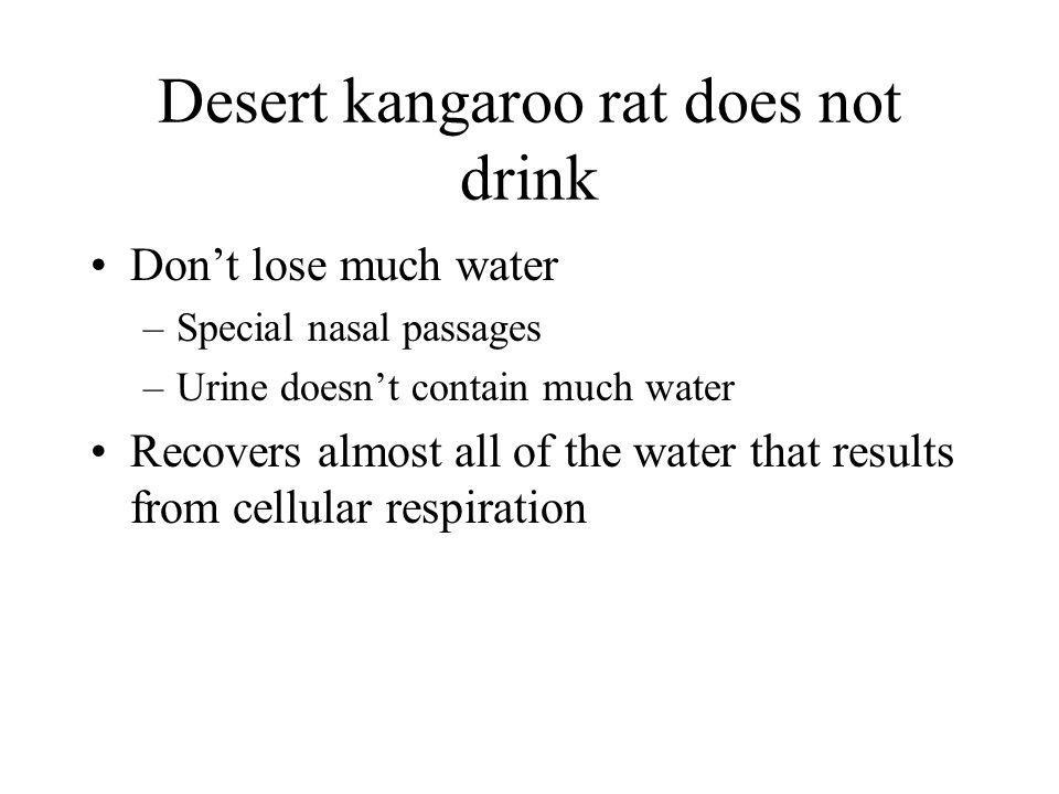 Desert kangaroo rat does not drink
