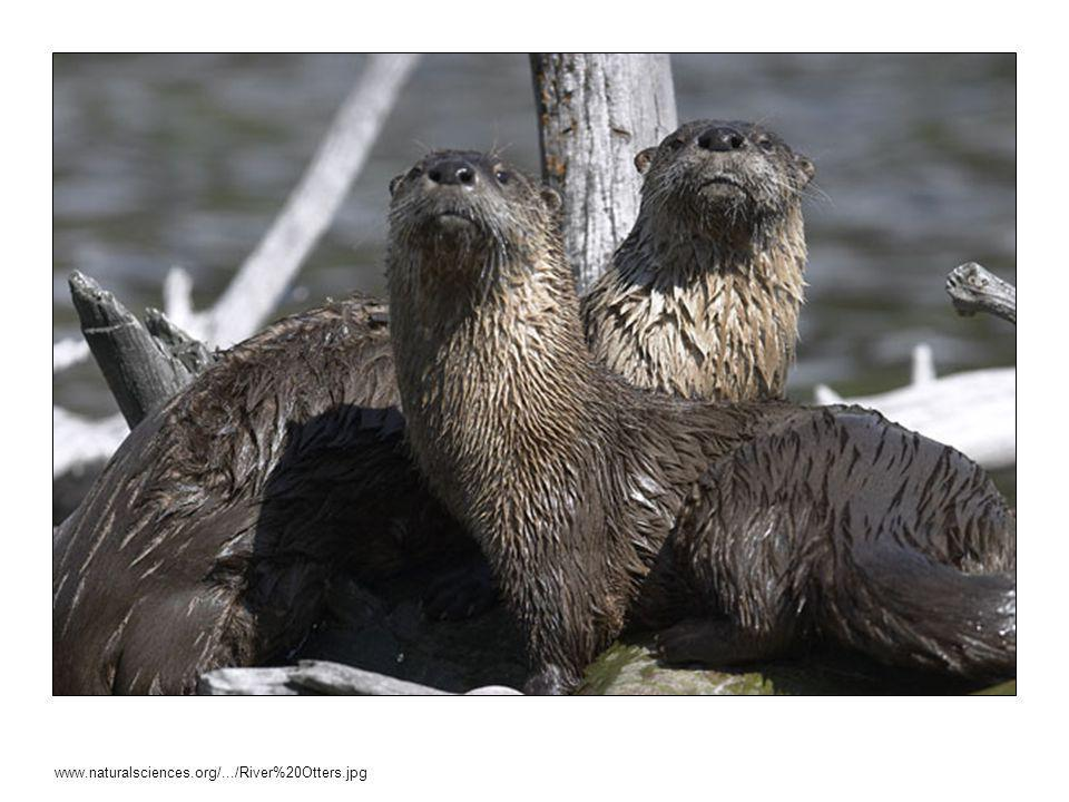 TEACHER SCRIPT: For example, these river otters need the debris from fallen branches or trees for their homes.