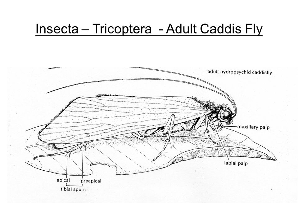 Insecta – Tricoptera - Adult Caddis Fly