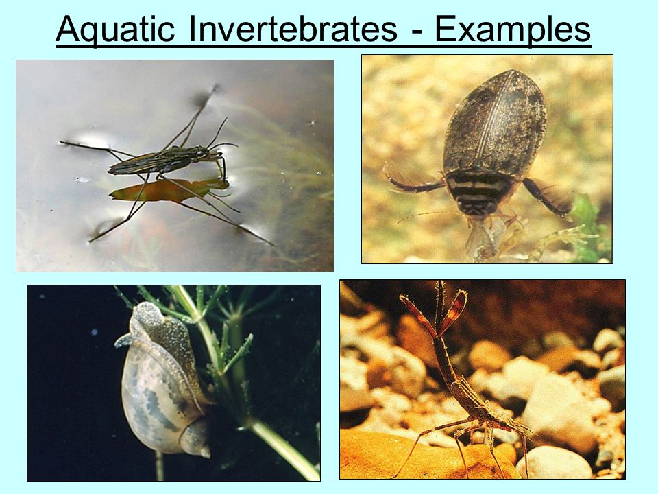 Aquatic Invertebrates - Examples