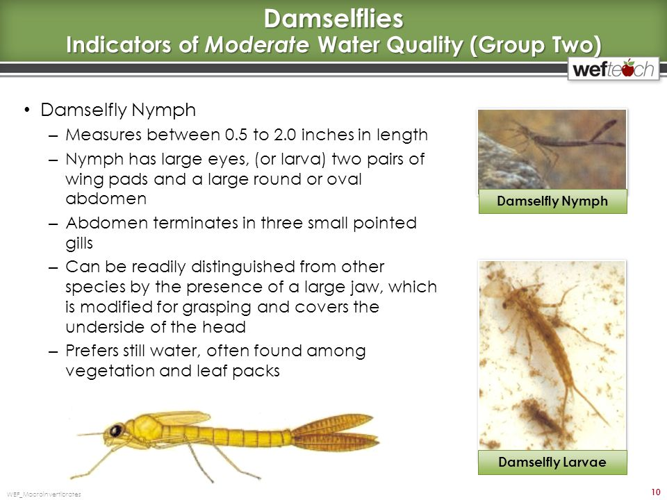 Damselflies Indicators of Moderate Water Quality (Group Two)