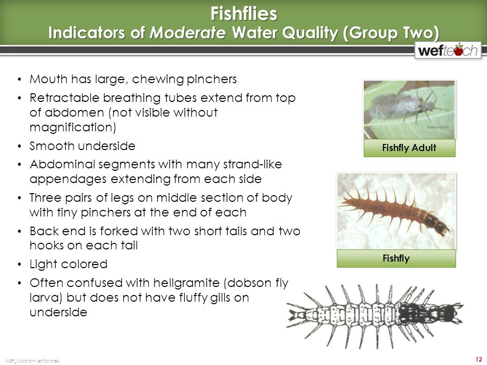 Fishflies Indicators of Moderate Water Quality (Group Two)