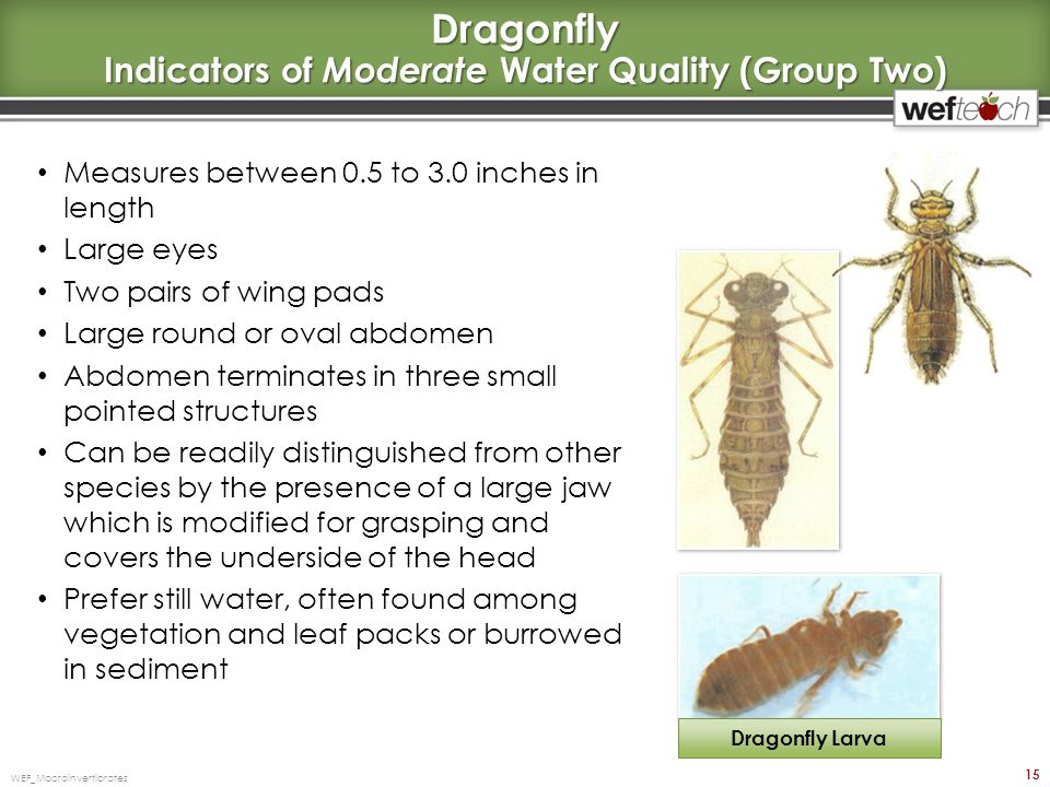 Dragonfly Indicators of Moderate Water Quality (Group Two)