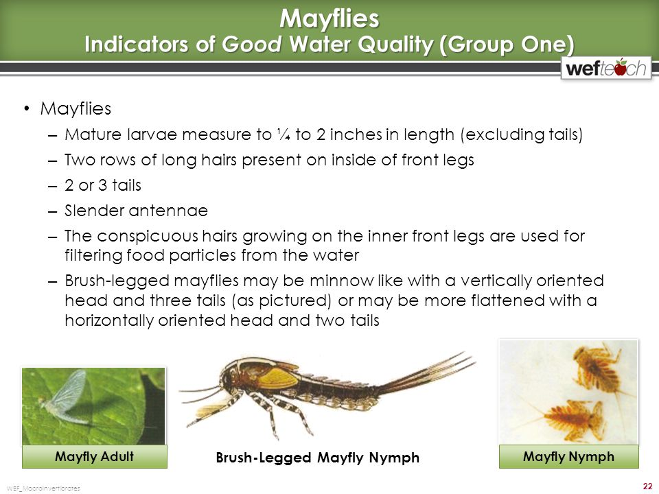Mayflies Indicators of Good Water Quality (Group One)