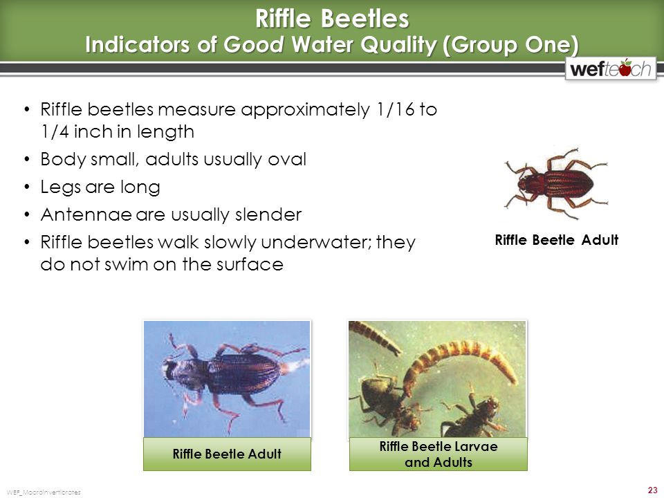 Riffle Beetles Indicators of Good Water Quality (Group One)