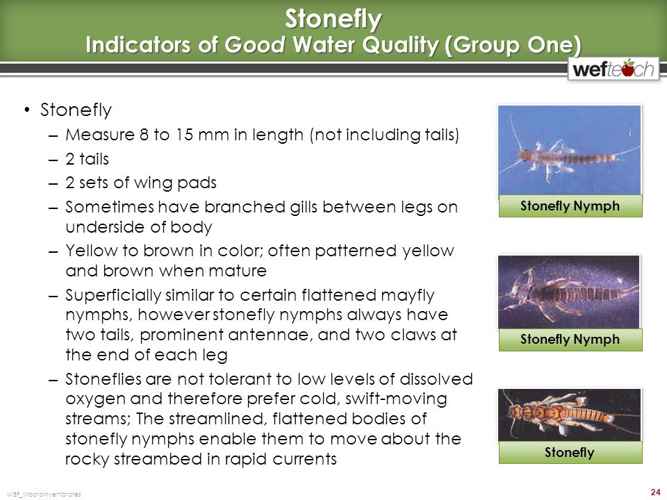 Stonefly Indicators of Good Water Quality (Group One)