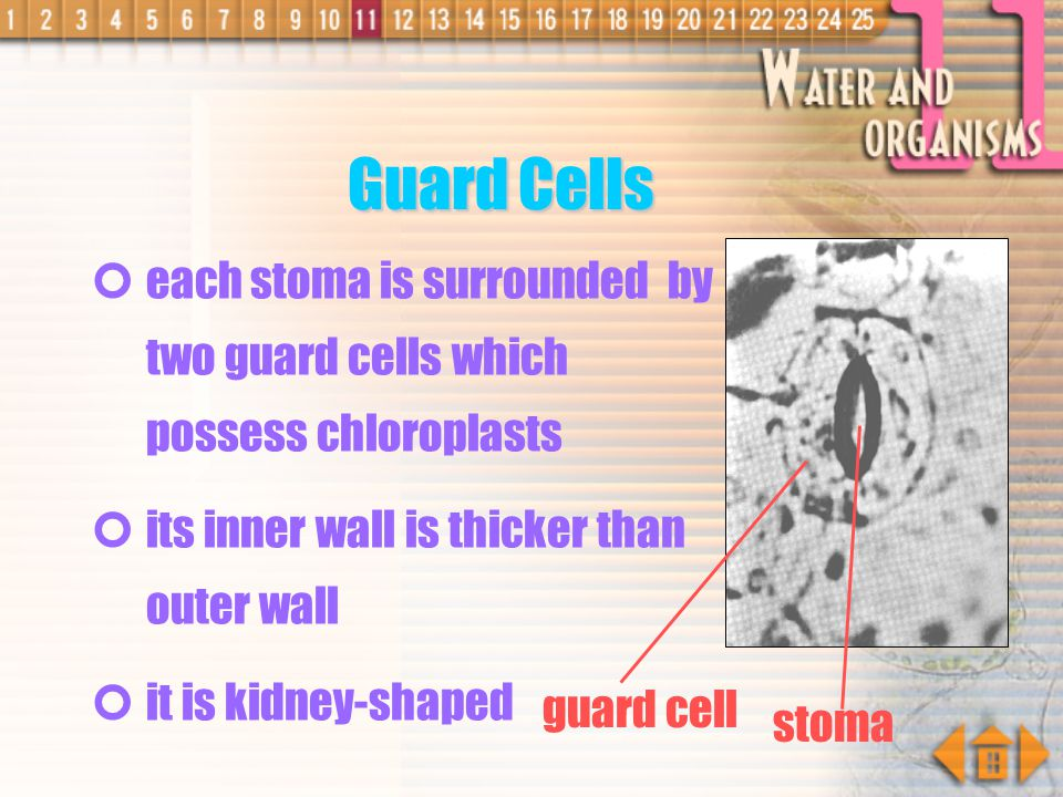 Guard Cells each stoma is surrounded by two guard cells which possess chloroplasts. its inner wall is thicker than outer wall.