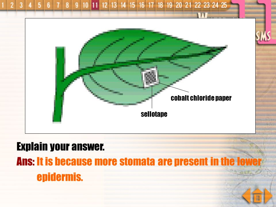 Ans: It is because more stomata are present in the lower epidermis.