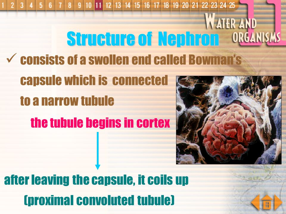 Structure of Nephron