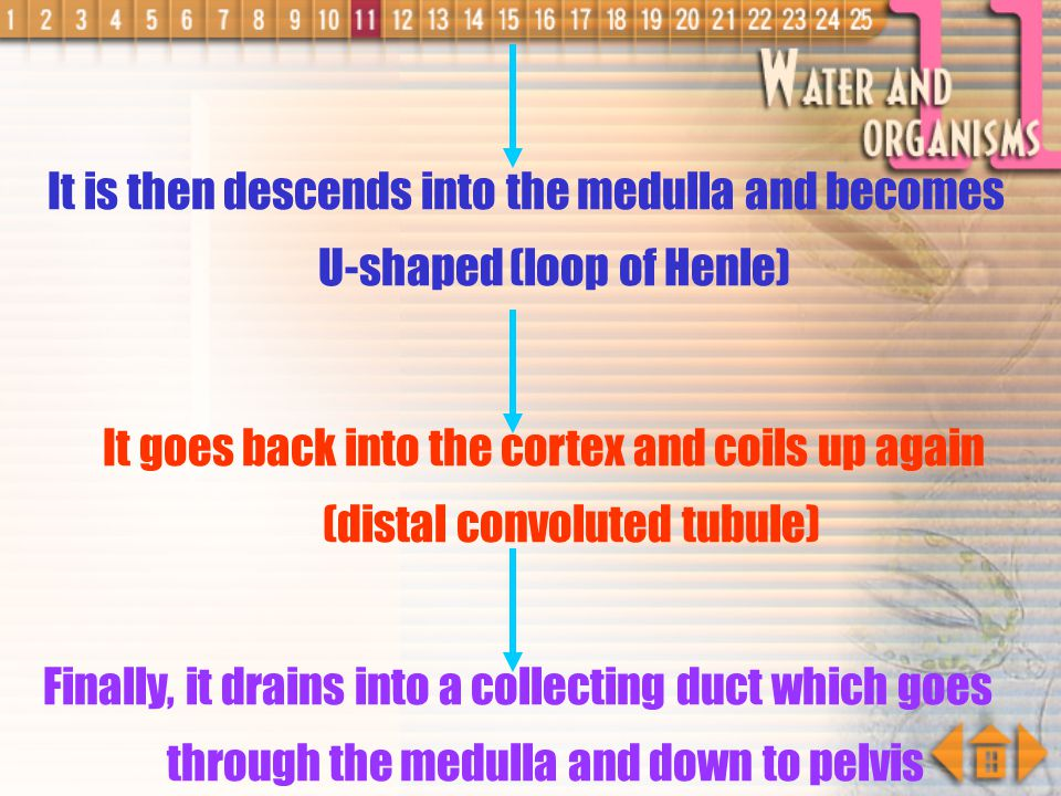 It is then descends into the medulla and becomes U-shaped (loop of Henle)